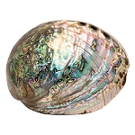 Polished Abalone Shell - 5 to 6